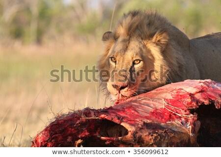eszik · oroszlán · park · Dél-Afrika · állatok · fotózás - stock fotó © simoneeman