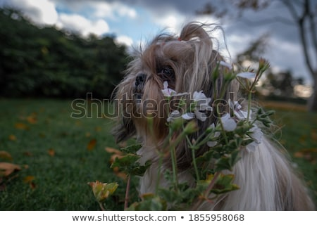 cute shih tzu sitting and looking up to side Stock photo © feedough