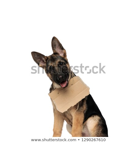 close up of seated german shepard wearing carton sign Stock photo © feedough