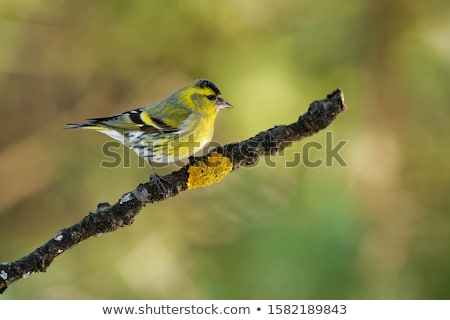 female eurasian siskin bird in the winter stock photo © manfredxy