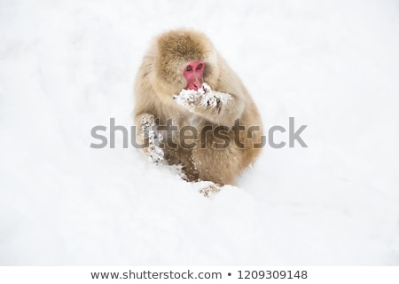 japanese macaque or monkey searching food in snow Stock photo © dolgachov