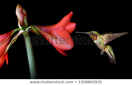 red flower over black Stock photo © johnnychaos