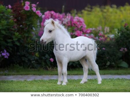Americain mini horses Stock photo © ivonnewierink
