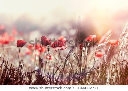 pistil  of Poppy Stock photo © njaj