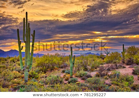 Pink Cactus Flower Sonoran Desert Phoenix Arizona Stock photo © billperry