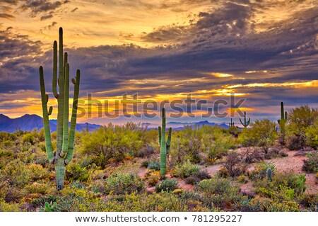 пустыне · весны · кактус · Полевые · цветы · Аризона - Сток-фото © billperry