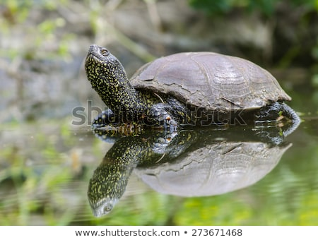 Painted Turtle Sunning on Grass Stock photo © rhamm