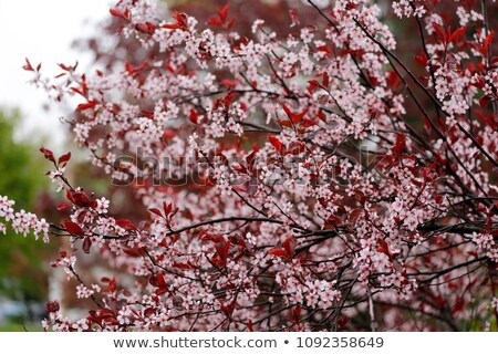 Blooming Purple Leaf Sand Cherry Stock photo © ca2hill