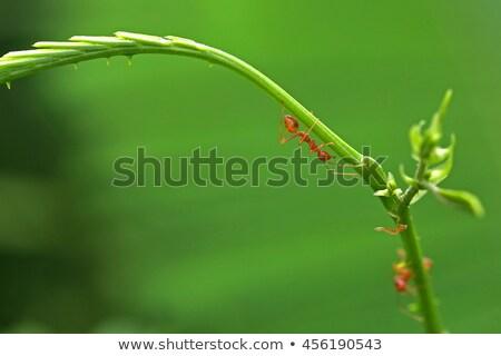Acacia tree detail with stings Stock photo © lunamarina