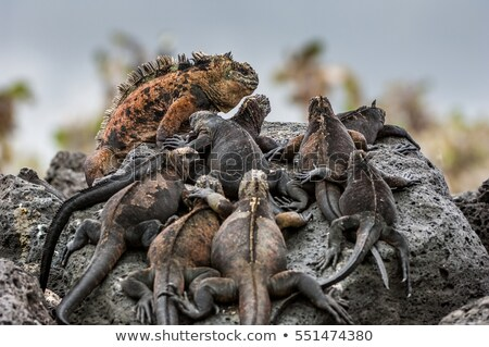 Feio iguana lava rocha natureza Foto stock © pxhidalgo
