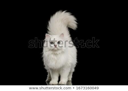 beautiful cat portrait Stock photo © taviphoto