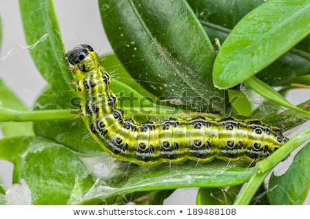 Caterpillar of the box tree moth (Cydalima perspectalis) Stock photo © Zerbor