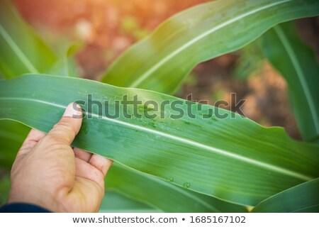 trigo · orelhas · mãos · fresco · verde · branco - foto stock © justinb