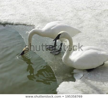 ducks in sea orangeville dufferin county ontario canada stock photo © bmonteny