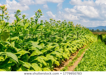 tobacco pink flowers stock photo © mady70