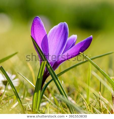 açafrão · flor · roxo · branco · grama · flores - foto stock © mady70