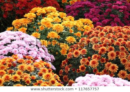 Pomarańczowy chryzantema kwiaty ogród kropla wody kwiat Zdjęcia stock © stoonn