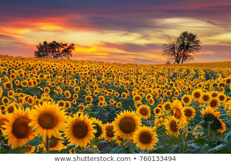 Blooming sunflower heads in cultivated crop field Stock photo © stevanovicigor