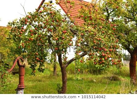 vieux · verger · arbres · campagne · coucher · du · soleil - photo stock © meinzahn