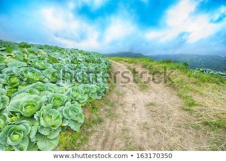 field with cabbage flowers Stock photo © AvHeertum