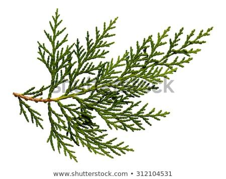 Green thuja branch Stock photo © simply