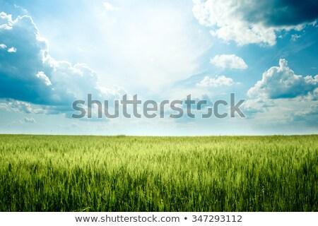 veld · groene · rogge · granen · zon · licht - stockfoto © dawesign