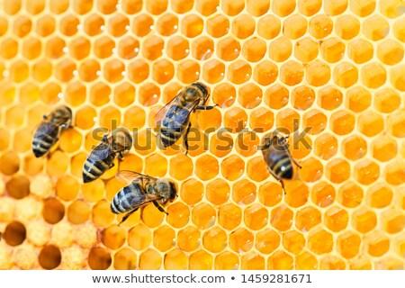 mel · de · abelha · família · comida · verão - foto stock © fogen