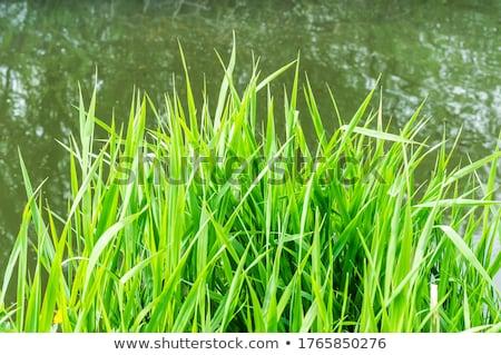 Textur See Gras abstrakten Wasser Landschaft Stock foto © OleksandrO
