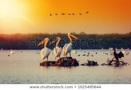 ドナウ川 デルタ 群れ 水 ストックフォト © taviphoto