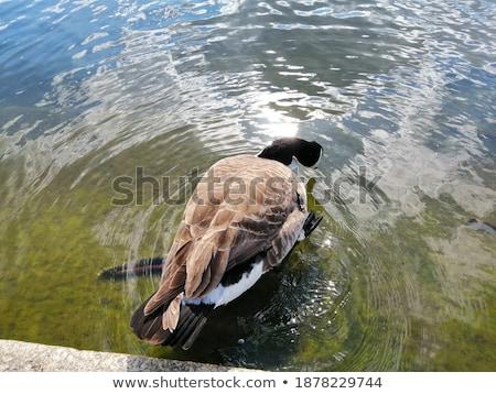 Ganso flutuante lagoa superfície pássaro Foto stock © taviphoto
