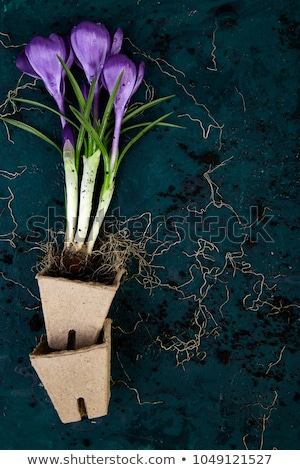 Gardening. Peat pots, crocus flower and  young seedlings. spring stock photo © Illia