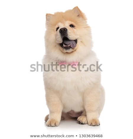 eager chow chow wearing pink bowtie sits and looks up Stock photo © feedough