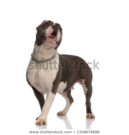surprised american bully wearing necklace looks up to side Stock photo © feedough