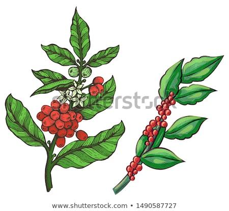 café · planta · ramo · folha · baga · grão · de · café - foto stock © robuart