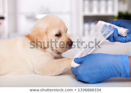Veterinary healthcare professional hands put bandage on cute lab Stock photo © ilona75