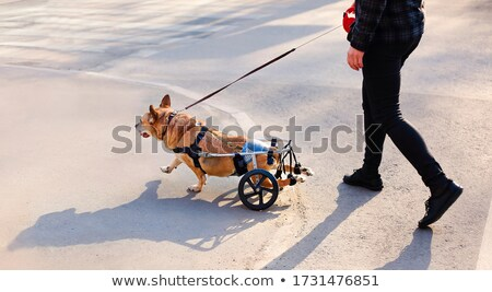 Crop owner walking with handicapped dog Stock photo © dashapetrenko