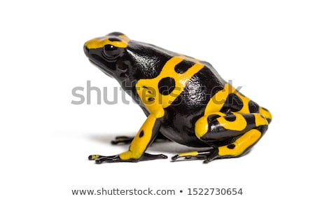 Black and yellow poisonous frog Stock photo © AlessandroZocc