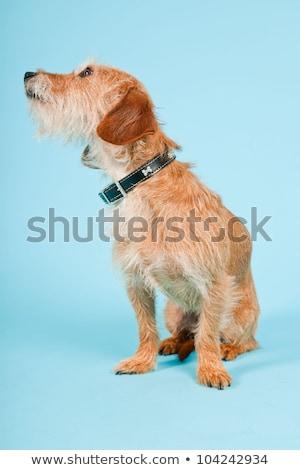 misto · preto · cabelo · cão · branco - foto stock © eriklam