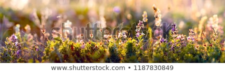 Kır çiçeği çiçek doğa romantik Stok fotoğraf © pashabo
