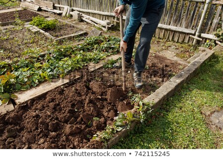 Man digging up vegetables in his garden Stock photo © photography33