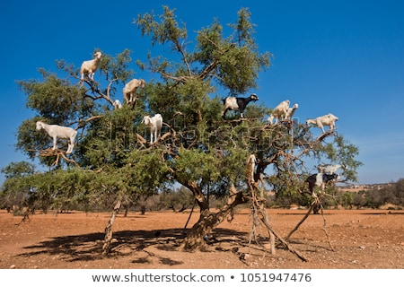 Geiten boom eten zuiden Marokko natuur Stockfoto © ajlber