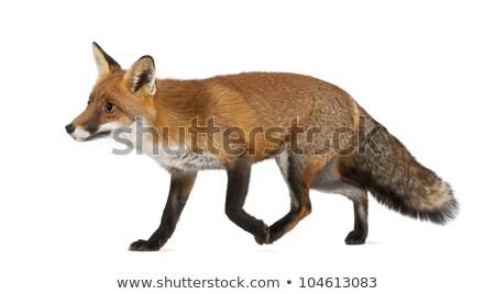 old red fox Stock photo © Genestro
