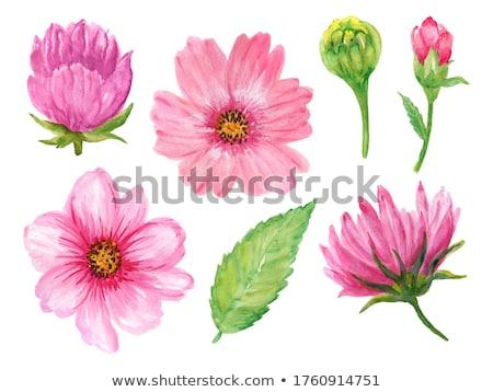 Roze daisy bloem bloemen schoonheid Stockfoto © stocker