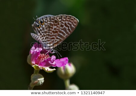 Zebra White Butterfly from West Africa Stock photo © davemontreuil