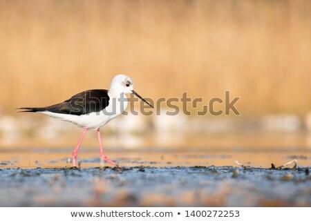 Sekély tavacska madár sétál profil gyönyörű Stock fotó © davemontreuil