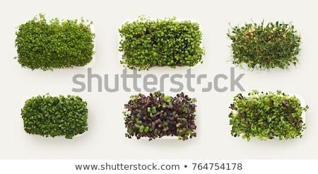 Watercress isolated on white Stock photo © Nejron