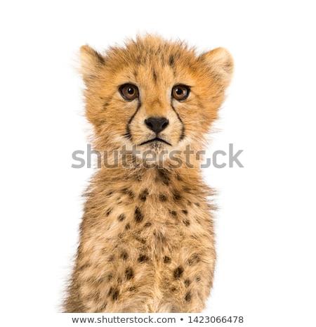 Portrait sauvage guépard forêt chat Afrique Photo stock © OleksandrO