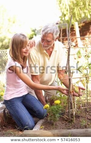 Senior Man Digging Vegetable Patch On Allotment Stock photo © HighwayStarz