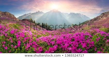 ストックフォト: 高山 · 草原 · 花 · 青 · 白 · 山