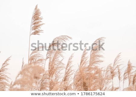 Reeds Stock photo © pedrosala
